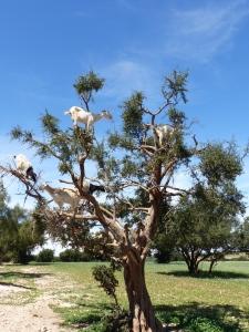 Ziegen im Arganbaum